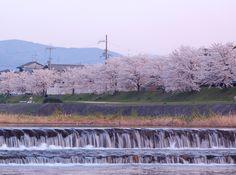 Kamogawa-River-Sakura-KYOTO,JAPAN