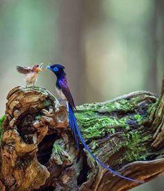 Paradise in the Woods (by Nobby)サンコウチョウ Pretty Birds, Love Birds, Beautiful Birds, Animals Beautiful, Beautiful Things, Exotic Birds, Colorful Birds, Baby Animals, Cute Animals