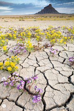La beauté des fleurs qui survivent en plein milieu du désert aride des Badlands…