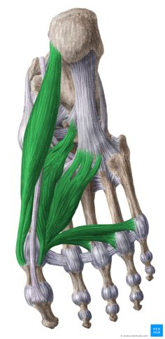 This article discusses anatomy, supply and function of the muscles found on the medial plantar aspect/ sole of the foot. Start learning them here.