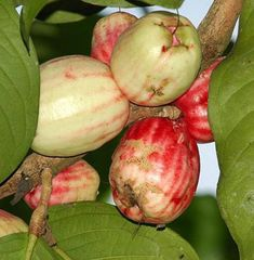 JAMBU BOL or Guava Fist (Syzygium malaccense).  Guava fruit has the texture of the meat is softer and more dense than the water pink (rose apple)