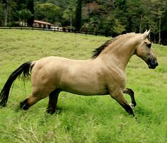 Dun buckskin Campolina stallion, Portinari Mandala. Liberty. photo via Haras Mandala.