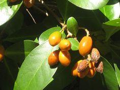 Karaka or New Zealand Laurel (Corynocarpus laevigatus) is an evergreen tree of the family Corynocarpaceae endemic to New Zealand. It grows to heights of up to 15 m and has a stout trunk up to 1 m in diameter.