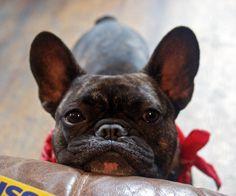 'Frankie', the French Bulldog | Pawshake