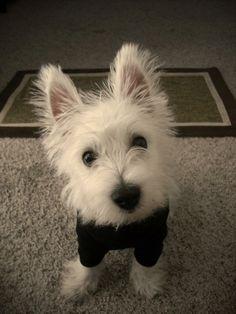 Little Guinness was the cutest Westie puppy!