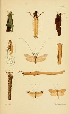 Caddis-fly larvae, pupae, and adults. Family Tree Quilt, Aquatic Insects, Insect Photos, Fly Tying Patterns, Fly Fishing, Fishing Stuff, Creature Feature, Plant Illustration, Science And Nature