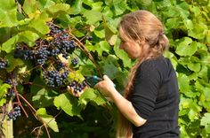 Quance Wines had their first harvest in 2013