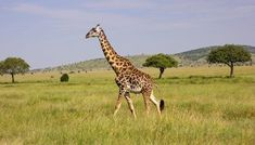 African Animals, African Elephant, Group Of Giraffes, Masai Giraffe, Rare Animals, Strange Animals, Serengeti National Park, Whitetail Bucks