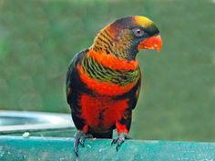 Lori Sombrío - Pseudeos fuscata --  Descripción: De 23 a 28 cm. de altura y un peso entre 140 y 190 gr.Es el único miembro del género Pseudeos.Es difí