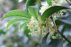 How-to-Plant-Osmanthus-Fragrans- – 2019 how to garden grow idea Olive Trees For Sale, White Flowers, Beautiful Flowers, Osmanthus Fragrans, White Flowering Shrubs, Kalmia Latifolia, Low Maintenance Shrubs, Garden Shrubs, Garden Bugs