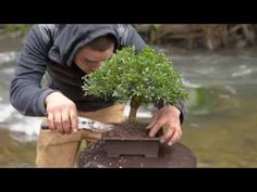Bonsai Tutorials for Beginners: How to improve Branch Taper Without Hard Cut Backs - YouTube