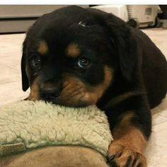 Baby Animals Super Cute, Cute Baby Dogs, Cute Animals, Rottweiler Love, Rottweiler Puppies, Kittens And Puppies, Cute Puppies, Deadly Animals, Fluffy Dogs