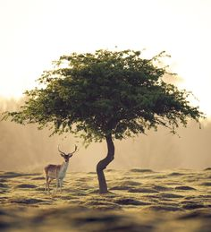 Lone Tree Gets Some Company. Beautiful Creatures, Animals Beautiful, Cool Pictures, Beautiful Pictures, Lone Tree, Oh Deer, Buck Deer, Mundo Animal, Beautiful World