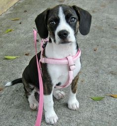 I'm a three-month-old beagle mix with a lot of energy and a little patience. I seem to get myself into a lot of puppy mischief and hate when I get caught. I know my family loves me because they give me a million puppy kisses every day. I love snuggling with my family and curling up to sleep in their laps. When I'm not licking faces or attacking my stuffed animals, I love making new friends, going on walks, sunbathing, swimming and burying treats in every corner of my house. My family says I…