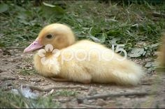 Small duckling - Stock Footage   by Iguanasbear Fine Art Photo, Photo Art, Stock Video, Stock Footage, Shots, Painting, Animals, Design, Animales