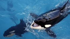 Killer whales stuck in shallow water saved by fishermen in Russia's Far East (VIDEO)