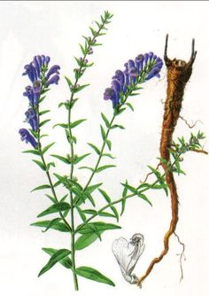 Scutellaria extract Scutellarin   a resinoid prepared from the root of the mad-dog skullcap and related mints of the genus Scutellaria and used especially formerly as a tonic and nerve sedative