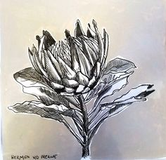 Title: Fynbos: Table Mountain Fynbos 10 Medium: Pen-and-Ink drawing on paper with oil paint background Size: 200 x Flower Pens, Flower Art, Protea Flower, Hardy Plants, Paint Background, Amazing Flowers, Botanical Prints, Coloring Pages, Ink