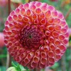 Dahlia 'Burlesca' - pretty, small flowers