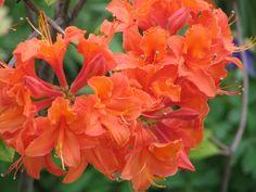 Orange Azelias-love the vibrant color