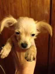 ~~~Bamm-Bamm Pupple ~~~~ is an adoptable Papillon Dog in Woodland Hills, CA. ADOPT BAMM-BAMM Pupple in Los Angeles! Bamm-Bamm is an adorable four month old papillon/ chihuahua puppy rescued from a hig...