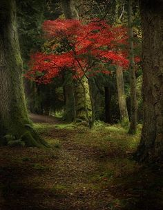 Red Autumn/Fall Tree in the Woods. Nature Photography.