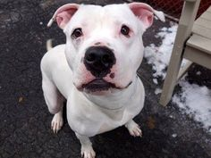 TO BE DESTROYED - 02/17/15 Manhattan Center -P  My name is BRO. My Animal ID # is A1027183. I am a male white american staff. The shelter thinks I am about 1 YEAR 3 MONTHS old.  I came in the shelter as a OWNER SUR on 02/04/2015 from OUT OF NYC, owner surrender reason stated was TOO STRONG https://www.facebook.com/photo.php?fbid=957827994230080
