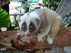 Slow Loris | Community Post: 15 Animals You Wish You Could Keep As A Pet