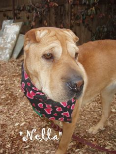 Nella - rescue shar pei available for adoption from sharpeisavers.com