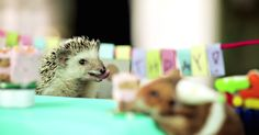 A tiny hedgehog had a tiny birthday party with tiny cakes for his tiny hamster friends.