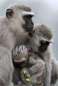 Vervet monkeys during unseasonably rainy and cold summer weather in Skukuza, Kruger National Park, South Africa | © Johannes de Wet