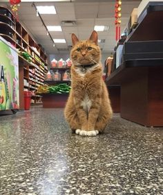 Bobo the Cat Spent 9 Years at Store Without Taking a Day Off - We Love Cats and Kittens