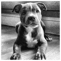 Awesome Pit Bull Puppy~