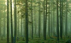Forest in Sweden ( Norrbotten)