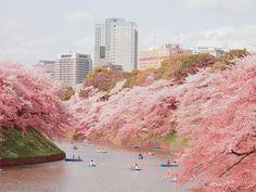 Couples Rowing Between Sakura Trees