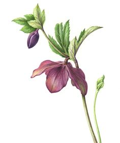Tomoko Nakamoto – The Society of Botanical Artists. Helleborus orientalis.