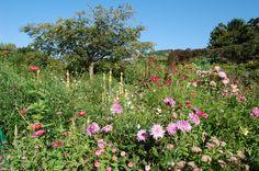 Giverny Pink Dahlias
