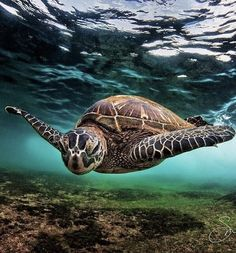Sea Turtle - Photo credit: AreaKPhotos