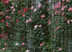 Bien placer un rosier grimpant : au pied d'un mur