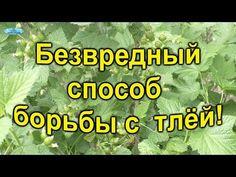 (838) Тля - боремся без химии! - YouTube