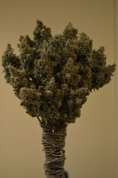 . #The best seeds #http://www.spliffseeds.nl/silver-line/blue-berry-seeds.html