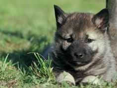 Norwegian Elkhound Puppy Lying in Grass Prints by Adriano Bacchella - AllPosters.co.uk