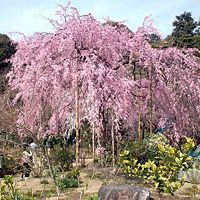 Weeping Cherry Trees Online At Nature Hills Nursery Tree Flowering