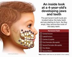 An inside look at a 4-year-old's developing jaws and teeth. The permanent tooth buds are located below the baby teeth and are starting to form. As they erupt, they remove the roots of the baby teeth.