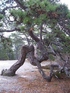 Bonsai styling inspiration     pitch pine along wonderland trail, acadia