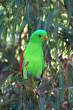 Female King Parrot, Australia (the male is red)