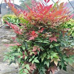 Options Nandina Plant, Lemon Lime Nandina, Dwarf Evergreen Shrubs, Dwarf Plants, Wine Images, Landscape Elements, Flowering Shrubs, Blooming Plants