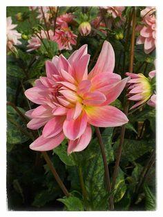 Pink Dahilia