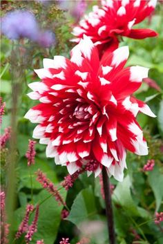 Top 10 Tips on How to Plant, Grow, and Care for Dahlia Flowers