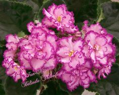African Violet Plant Ian Minuete Russian Variety | eBay Ian-Minuet (10107) 08/07/2009 (N. Puminova) Semidouble-double light pink large wavy star/thin raspberry edge. Medium green, pointed, quilted. Standard (Russ/Ukr)